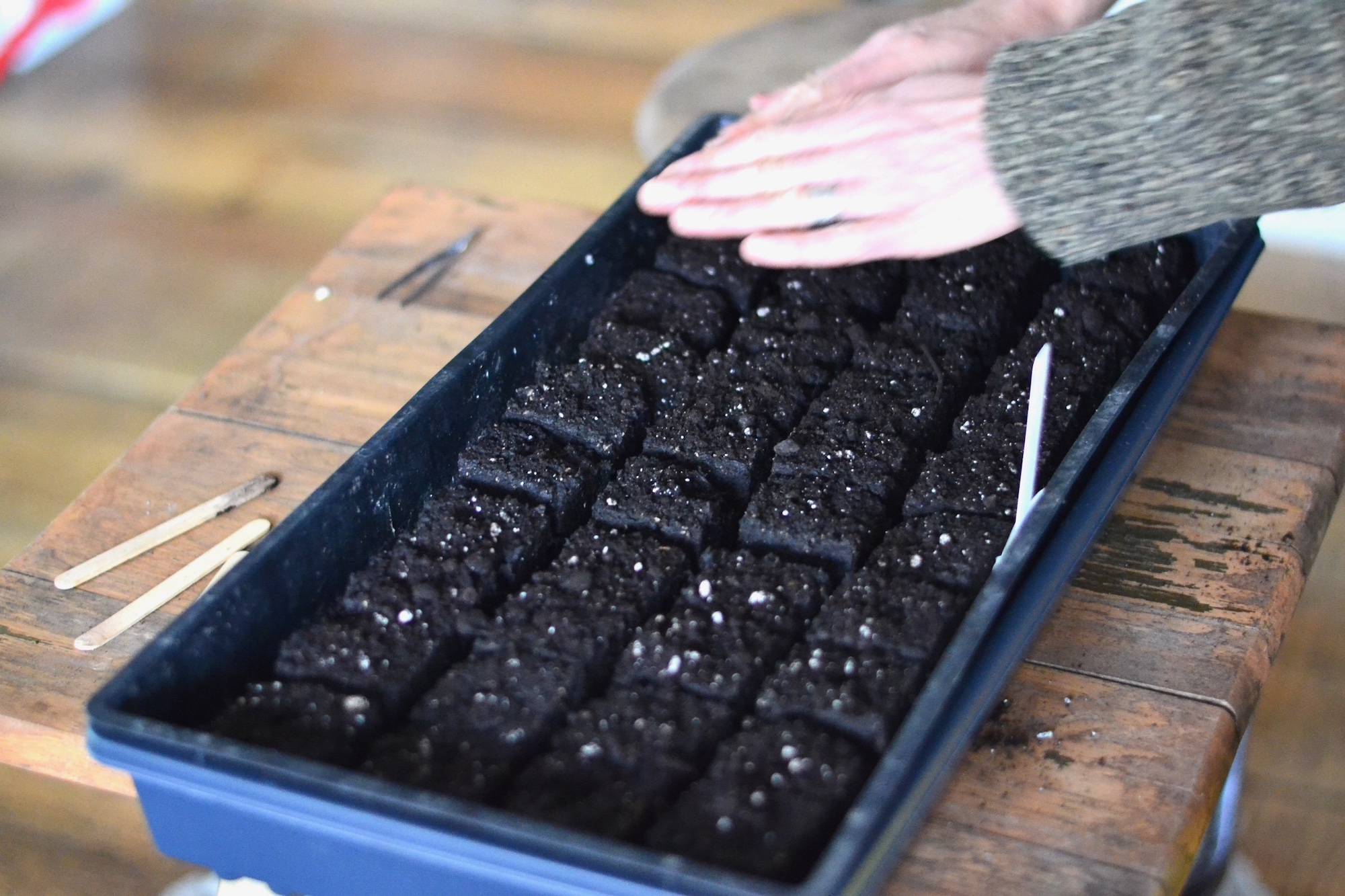 Soil blocking in Maine with organic cabbage seeds.